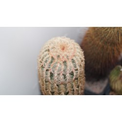 Echinocereus rigidissimus rubispinus old