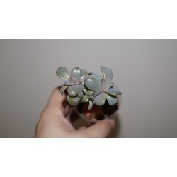 Echeveria 'Perl von Nurnberg' cristata
