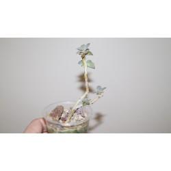 Echeveria Perl von Nurnberg бонсай