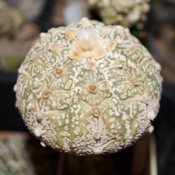 Astrophytum asterias Super Kabuto 3