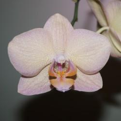 Фаленопсис желто-розовый