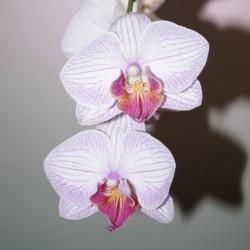 Фаленопсис бело-розовый