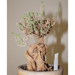 Trichodiadema bulbosum бонсай / Галерея