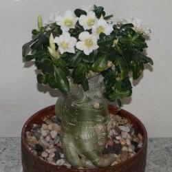 Адениум Adenium obesum белый