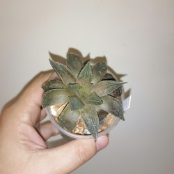 Haworthia Red bull small