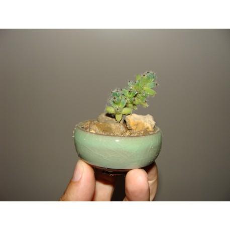Trichodiadema бонсай