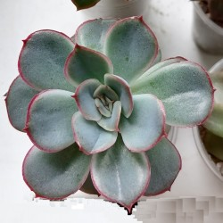 Echeveria pulidonis hybrid