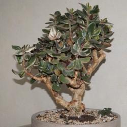 Crassula ovata Solana variegata