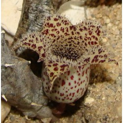 Stapelianthus madagascariensis