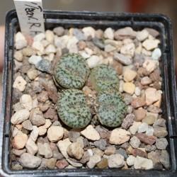 Conophytum obcordellum ssp. obcordellum ALP320