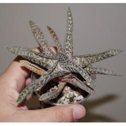 Gasteraloe cv. China