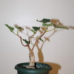 Фикус Ficus tettensis
