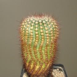 Echinocereus sp