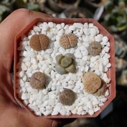 Разноцветные живые камни - композиция под заказ
