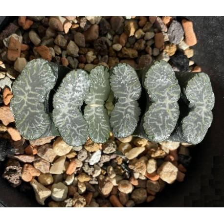 Haworthia truncata Sharaku
