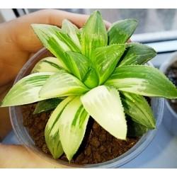 Haworthia mutica variegata