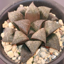 Haworthia Black splendens