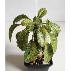 Dorstenia variegata