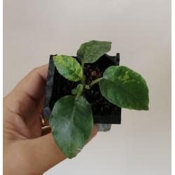 Дорстения Dorstenia foetida variegata