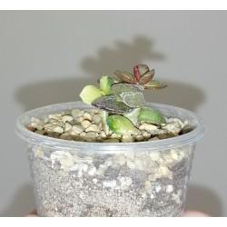 Adromischus hemisphaericus variegata