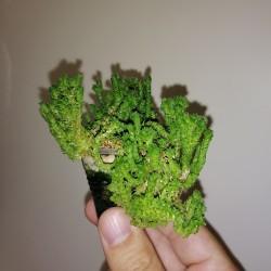 Crassula lycopodioides cristata