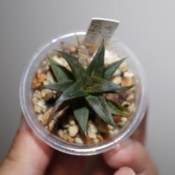Haworthia limifolia Golela