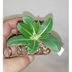 Pachypodium eburmeum
