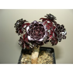 Aeonium arboreum Schwarzkopf многоголовый