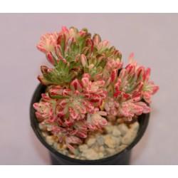 Aeonium sedifolium variegata