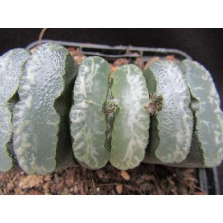Haworthia truncata Gintuki