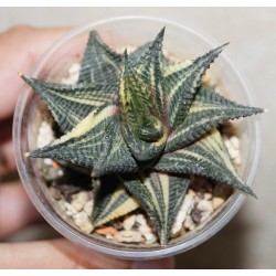 Haworthia limifolia variegata 2