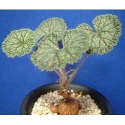 Pelargonium barklyi / Галерея