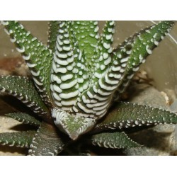 Haworthia fasciata Big Band