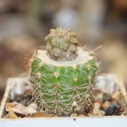 Copiapoa hypogea Lizard skin