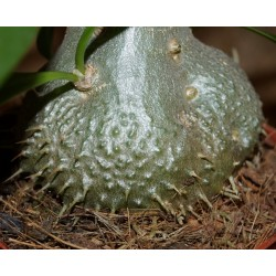 Myrmecodia  echinanta Мирмекодия  колючая / Галерея