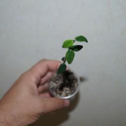 Euphorbia bemarahaensis