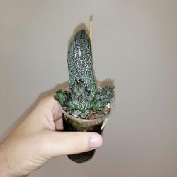 Haworthia kaffirdriftensis