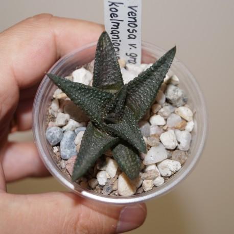 Haworthia venosa granulata x koelmaniorum