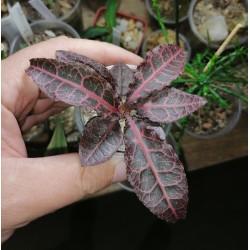 Euphorbia francoisii crassicaulis