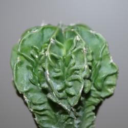 Astrophytum myriostigma nudum Fukuryu Plus