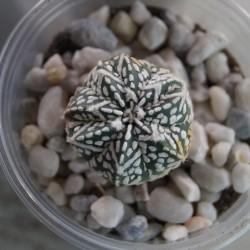 Astrophytum asterias Super Kabuto гибрид V-type Classic