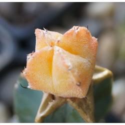 Astrophytum myriostigma variegata Orange
