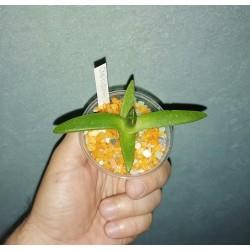 Cheiridopsis digitata