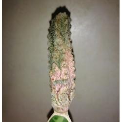 Euphorbia abdelkuri Damask