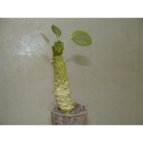 Monadenium ritchiei variegata