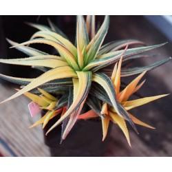 Haworthia radula variegata Aurea