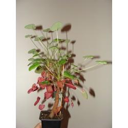 Pelargonium cotyledonis small