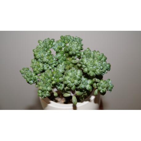 Pachyphytum compactum cristata