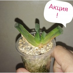 Haworthia truncata АКЦИЯ!