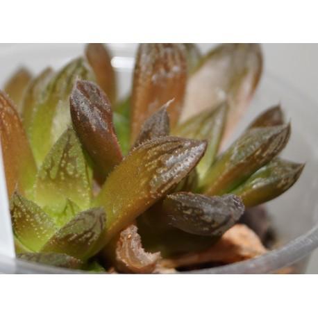 Haworthia 'Smaragd' гибридная